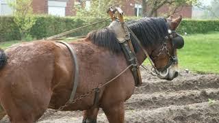 Belgian Draft Horses: plowing on ridges requires workmanship