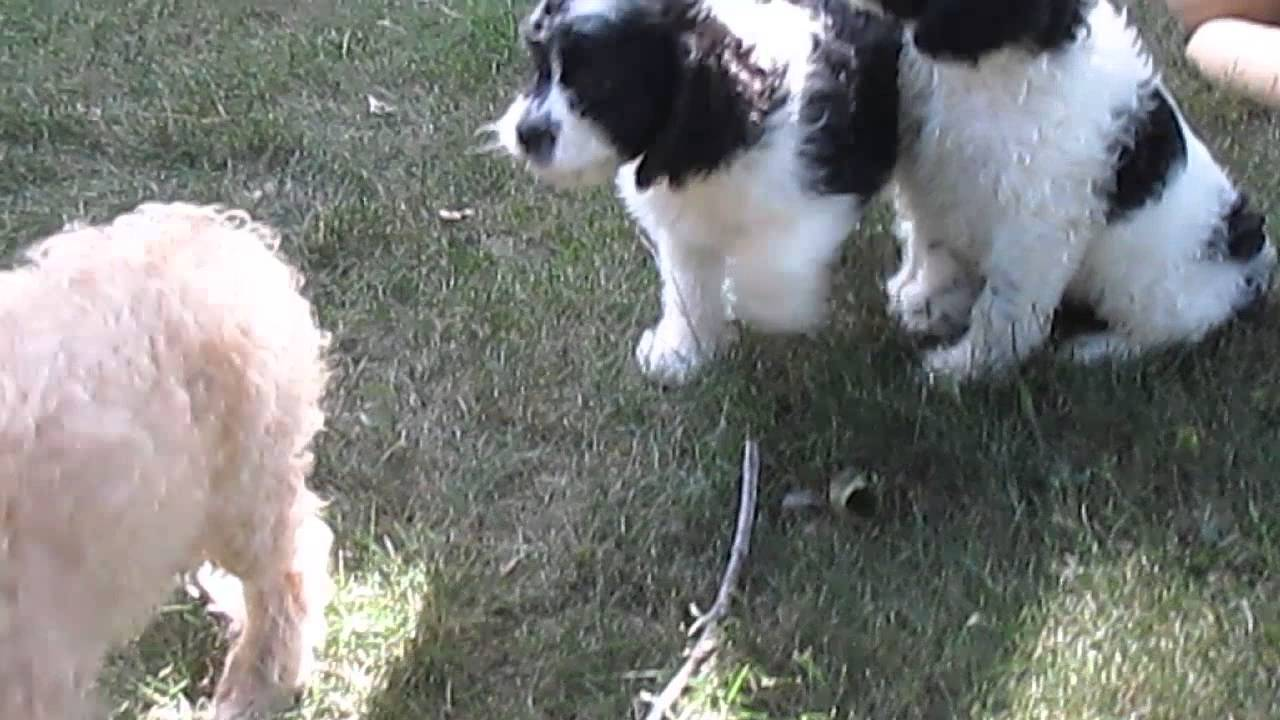 Cockapoo Puppies For Sale In Shippensburg PA