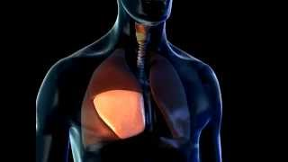 Lobes of the Lungs - 3D Medical Animation || ABP ©