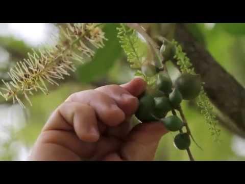 40 Years Of Australian Macadamias