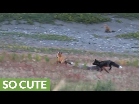 Wild fox pups chase each other throughout field