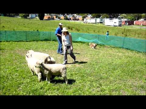Basic round yard training for sheepdogs
