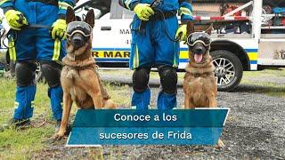 Los canes pertenecen al grupo especializado de la Marina, reemplazaron a la retirada perrita Frida. Son expertos en tareas de búsqueda de personas en cualquier situación de emergencia