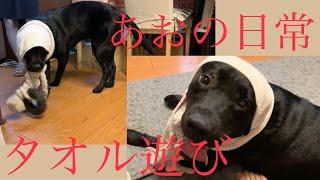 [黒ラブ]タオル遊びだぁ〜 犬もストレス発散!