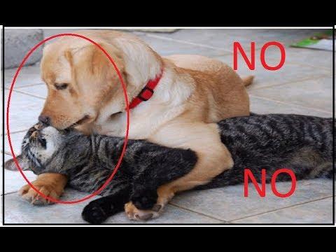 Kostenlose Foto Haustier Hunde Wirbeltier Labrador Retriever