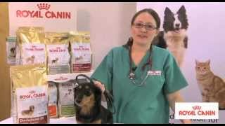 Dachshund Breed Health Nutrition - Royal Canin