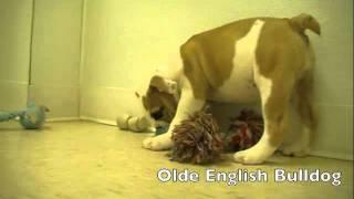 Large Breed Puppies Rotti Mastiff Bull Terrier Bull Dog