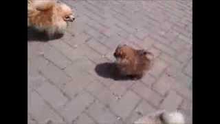 Zwergspitz Pomeranian Welpe Amie Mit Ihrer Mama Und Anderen Rudelmitgliedern