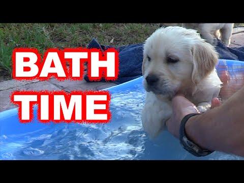 Labrador / Golden retriever puppy first bath