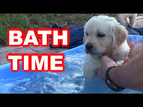 Labrador / Golden retriever puppy first bath