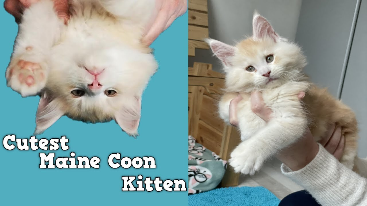 Flynn: the Cutest Maine Coon Kitten at 9 weeks old.  Watch me grow.