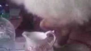 Cute birman cat drinks milk out of antique china