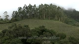 Tea garden in the hills of Munnar