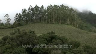 Tea garden in the hills of Munnar