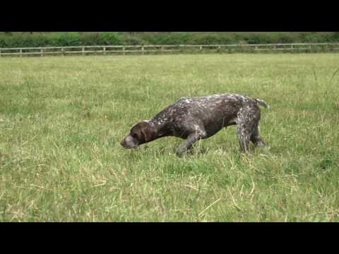 Training a German Shorthaired Pointer to respond to a search whistle