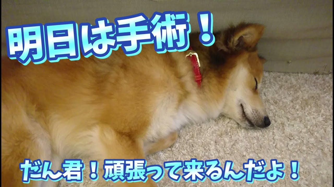 [保護犬だん君]明日は手術!去勢手術としこり(腫瘍)除去手術をダブルでお願いすることになりました!