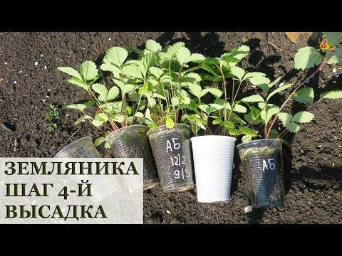 Земляника из семян. Высадка в открытый грунт / 2 способа высаживания