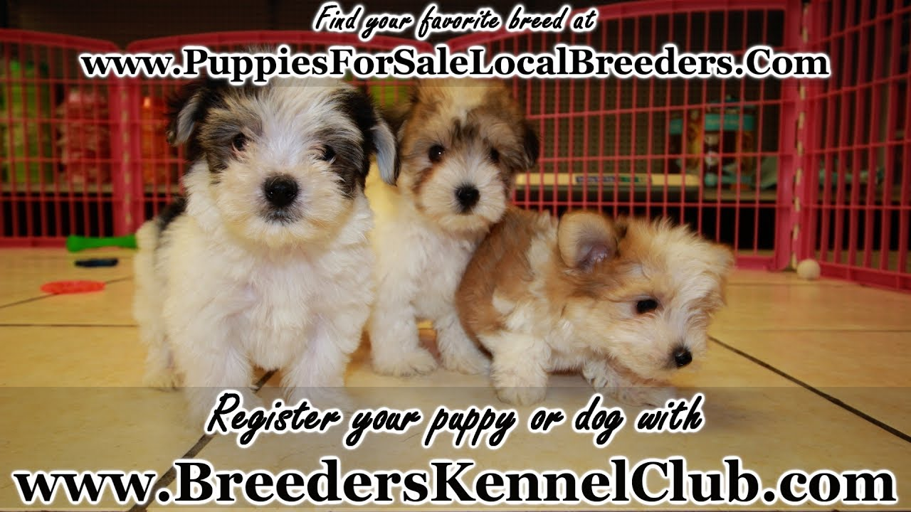 Teacup Morkie Puppies For Sale In Ga Georgia Local Breeders Youtube