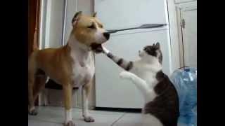 Стаффордширский терьер и кот (милая дружба).