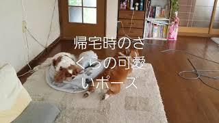 キャバリア#犬#癒し系 さくらの帰宅時の反応です(* ̄∇ ̄*) 毎日仕事から...