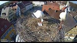 Störcge  Höchstadt Aisch-  1.Küken- 17.04.2020