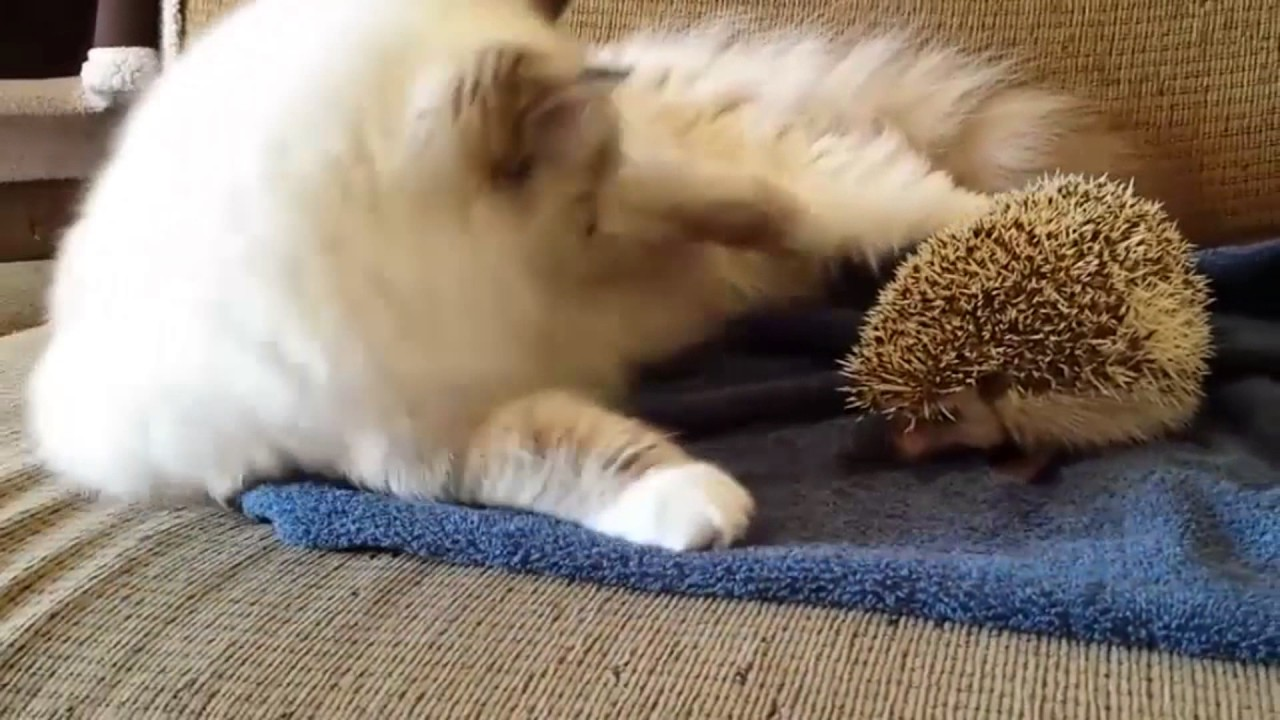 ハリネズミに興味津々の猫www