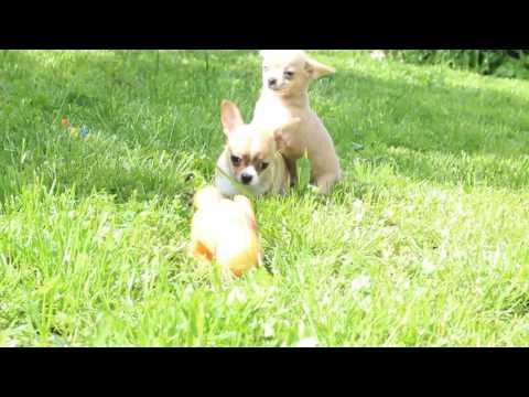 Чихуахуа Щенокиз YouTube · Длительность: 4 мин30 с  · Просмотры: более 1000 · отправлено: 15.08.2017 · кем отправлено: Tok