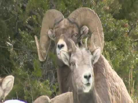 Yellowstone Bighorns