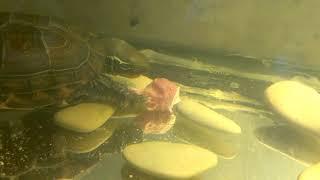 Желтая водная черепаха разрывает и ест мясо