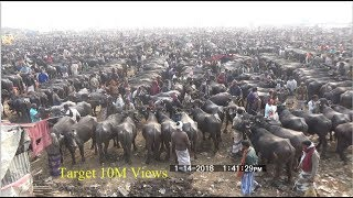 Believe this buffalo market? World largest buffalo market you don
