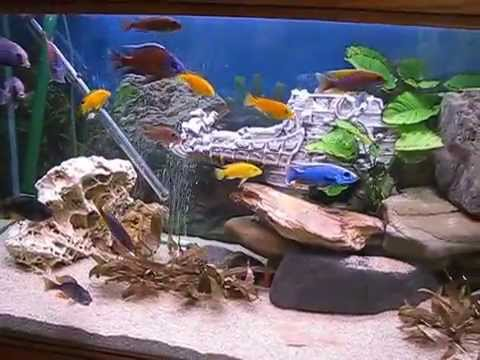 aquarium 600 l en cichlid s du malawi youtube. Black Bedroom Furniture Sets. Home Design Ideas