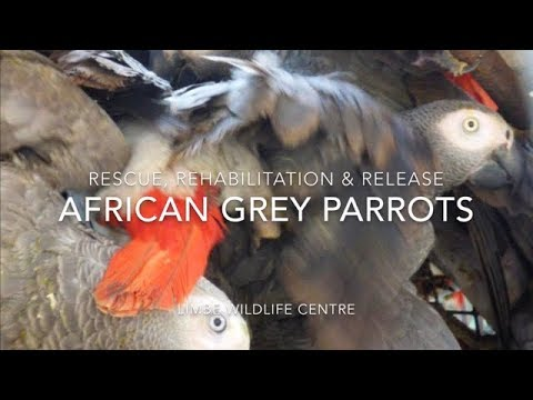 Rescue, rehabilitation and release of African grey parrots