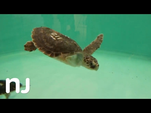 Sea Turtle Recovery Center opens at the Turtle Back Zoo
