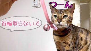 お嬢猫が首輪を取って隠すので困っています!