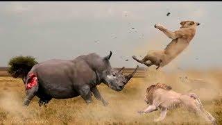 Inacreditável Rinoceronte ataque leão - Rinoceronte vs Leão, animais selvagens, Anaconda, tigre,...