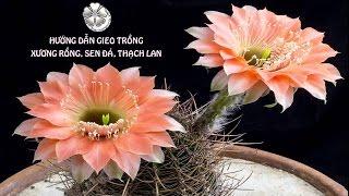 ❀ GIEO HẠT, TRỒNG CÂY - Kỹ thuật trồng Xương rồng, Thạch lan, Sen đá - Bán Hạt Giống - 07/2016