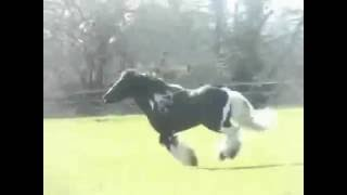 Stallion gypsy The hustler