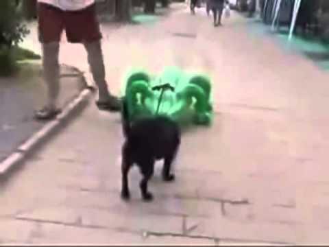 繋がれた緑ワニの挙動に驚き逃げる犬 Plastic Alligator Attacks Dog