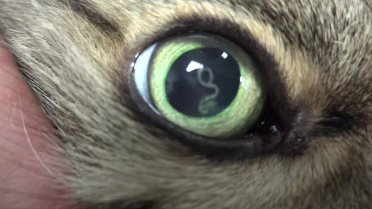 Les parasites internes du chat  vers et protozoaires. , Chat