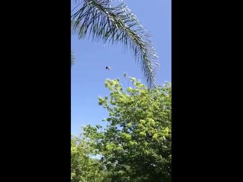 Sunshine Haven Wildlife Rehabilitation - American Kestrel (Falco sparvius) release