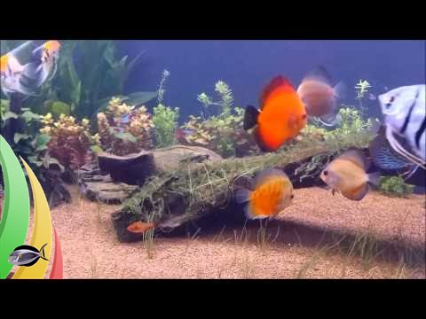 Freshwater aquarium fish angelfish - Discus Angel Fish And German Blue Rams Welcome To The Beast Tank Youtube