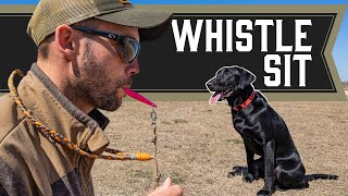 Teaching Sit with A Whistle  Retriever Training