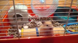 Ангорский королевский хомяк (самка)) / Royal angora Hamster