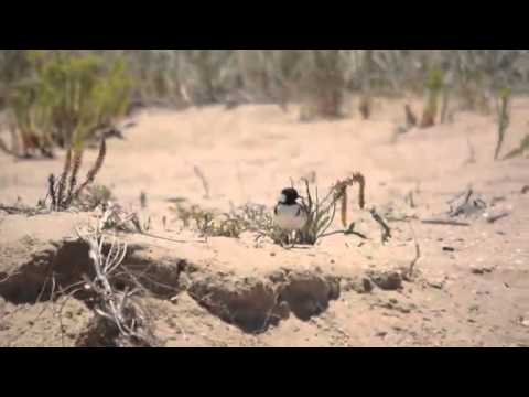 Hooded Plovers