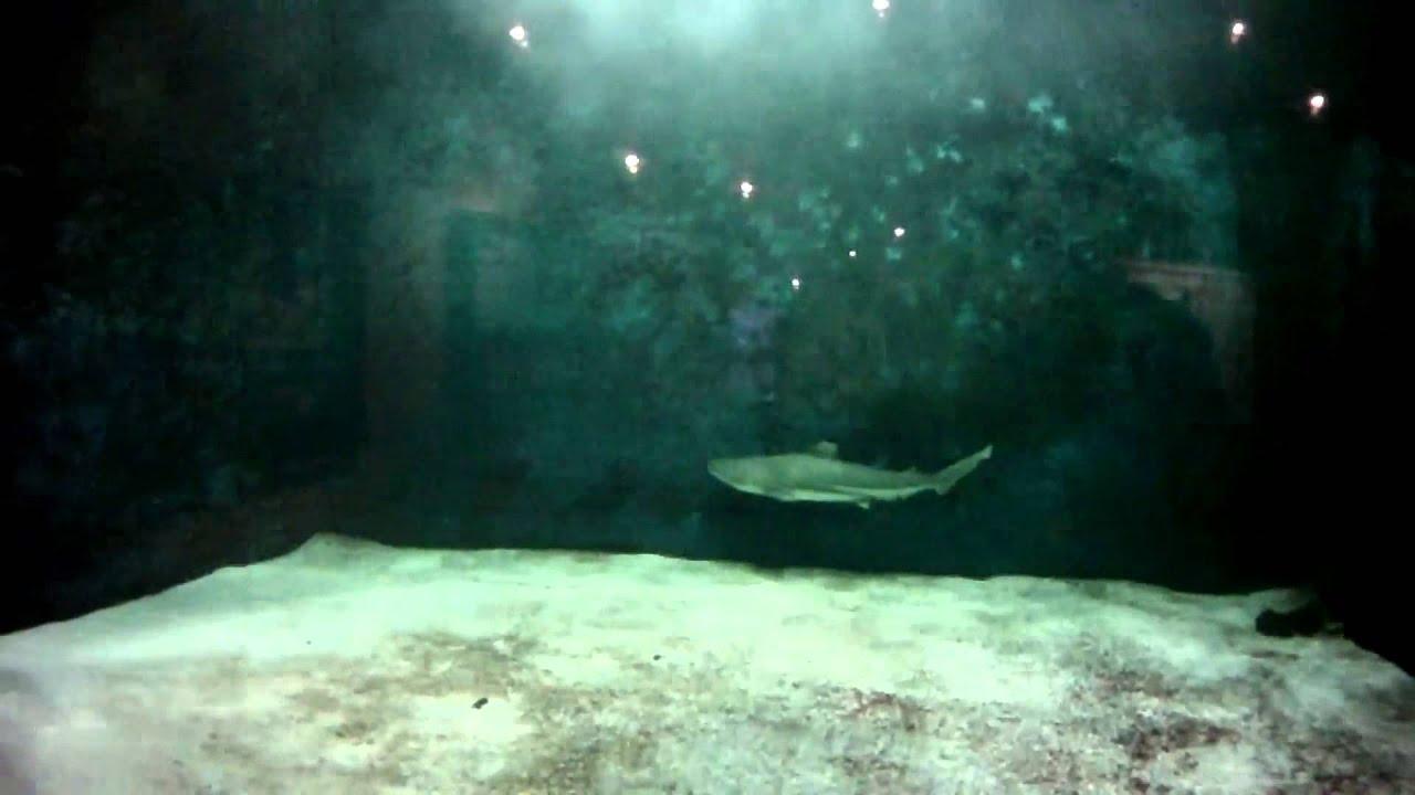 Requin ? pointe noire : Aquarium Dubuisson de Liege (G-EYE 720p ...