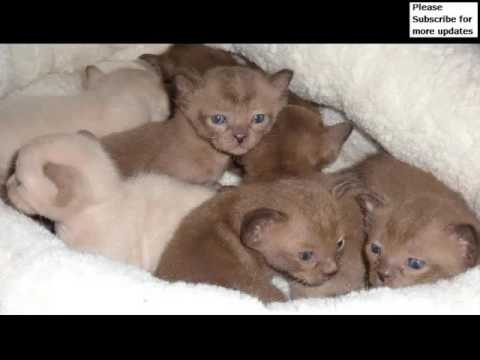 Brown Burmese Kittens | Set Of Cat Picture Collection
