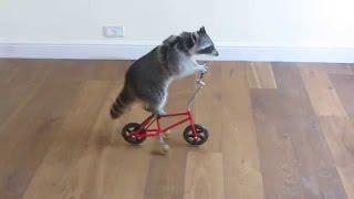 Waschbär Kann Fahrrad Fahren