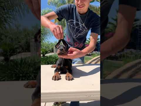 European Doberman puppy!