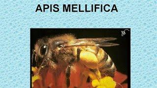 APIS MELLIFICA - ΑΝΤΙΜΕΤΩΠΙΣΗ ΟΞΕΩΝ ΚΑΤΑΣΤΑΣΕΩΝ ΜΕ ΟΜΟΙΟΠΑΘΗΤΙΚΗ