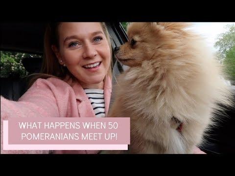 What happens when 50 Pomeranians meet! | Katie KALANCHOE
